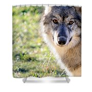 Young Gray Wolf In Light Shower Curtain