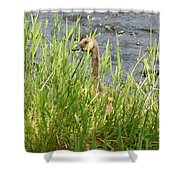 Young Grazing Goose Shower Curtain