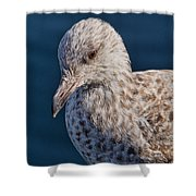 Young Herring Gull Shower Curtain