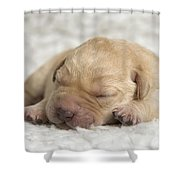 Young Labrador Puppy Shower Curtain