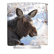 Young Moose Resting Shower Curtain