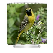Young Orchard Oriole Shower Curtain