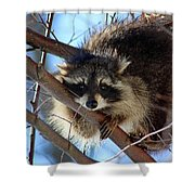 Young Raccoon In Birch Tree Shower Curtain