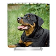 Young Rottweiler Shower Curtain