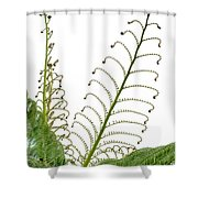 Young Spring Fronds Of Silver Tree Fern On White Shower Curtain