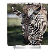 Zebra Crossing V7 Shower Curtain