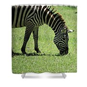 Zebra Eating Grass Shower Curtain