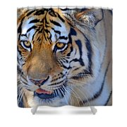 Zootography3 Tiger Prowl Close-up Shower Curtain