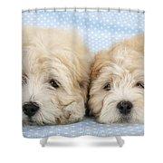 Zuchon Teddy Bear Dogs, Lying Shower Curtain