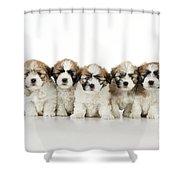 Zuchon Teddy Bear Puppy Dogs Shower Curtain