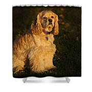 American Cocker Spaniel Shower Curtain
