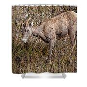 Bighorn Ewe Shower Curtain