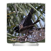 Boat-tailed Grackle - Quiscalus Major Shower Curtain