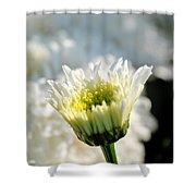 0002 Leucanthemum Cog Hill Awakening  Shower Curtain