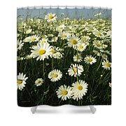 A Field Filled With Daisies In Bloom Shower Curtain