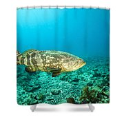 A Goliath Grouper Effortlessly Floats Shower Curtain