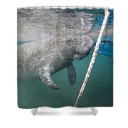 A Manatee Gets Dangerously Close Shower Curtain