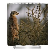 A Meerkat Suricata Suricatta Stands Shower Curtain