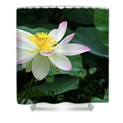 A Pink Tipped White Lotus Shower Curtain