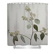 A Seeded Eucalyptus Eucalyptus Cinerea Shower Curtain