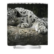 A Snow Leopard Takes Time Out To Rest Shower Curtain
