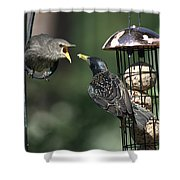 Adult Starling Feeds A Juvenile Shower Curtain