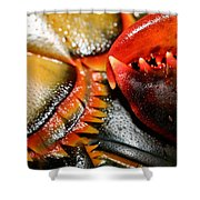 American Lobsters Shower Curtain