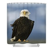 An American Bald Eagle Stands Shower Curtain