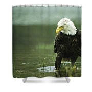 An American Bald Eagle Stares Intently Shower Curtain