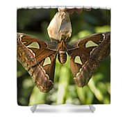 An Atlas Moth Atlas Attacus At The St Shower Curtain