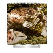 Anemone Or Porcelain Crab In Its Host Shower Curtain