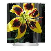 Asiatic Lily Named Black-eyed Cindy Shower Curtain