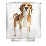 Beagle Dog Shower Curtain