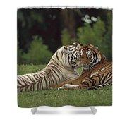 Bengal Tiger Panthera Tigris Tigris Shower Curtain by Konrad Wothe