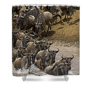 Blue Wildebeest Connochaetes Taurinus Shower Curtain