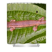 Bolitoglossine Salamander Shower Curtain