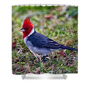 Brazillian Red-capped Cardinal Shower Curtain