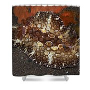 Brown And White Discodoris Nudibranch Shower Curtain