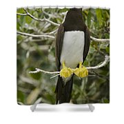 Brown Booby, Sula Leucogaster Shower Curtain