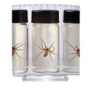 Brown Recluse Spider Shower Curtain
