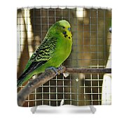 Budgerigar - Parakeet Shower Curtain