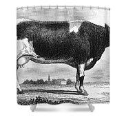 Cattle, 19th Century Shower Curtain
