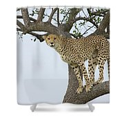 Cheetah Acinonyx Jubatus Female Shower Curtain