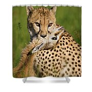 Cheetah Acinonyx Jubatus With Its Kill Shower Curtain