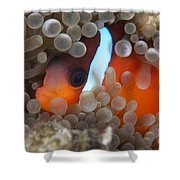 Cinnamon Clownfish In Its Host Anemone Shower Curtain