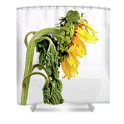 Close Up Of Sunflower. Shower Curtain