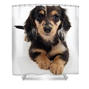 Dachshund Pup Shower Curtain