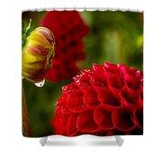 Dahlia Bud With Dew Shower Curtain