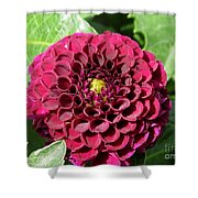 Dahlia Named Pride Of Place Shower Curtain