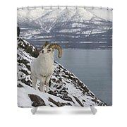 Dall Sheep Ovis Dalli Ram, Yukon Shower Curtain